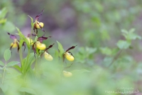 "Frauenschuh "" Cypripedium calceolus """